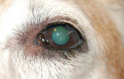 глаз собаки