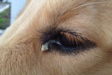 гной из глаз у собак