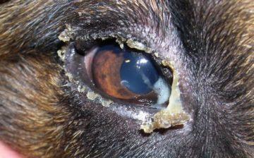гной из глаза у собаки