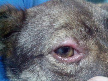 у собаки вокруг глаз нет шерсти