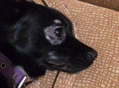облысение вокруг глаз у собаки