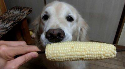 собака ест кукурузу