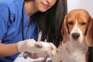 ветеринар осматривает лапу у собаки