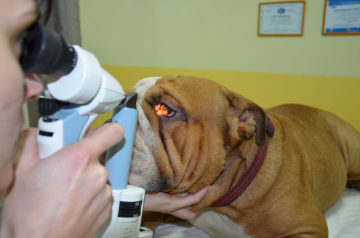 врач осматривает глаза у собаки