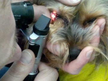врач смотрит собаке глаза